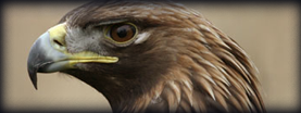 Scottish Falcon Breeders, Eagle Breeders