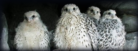 Gyr Falcon Breeders