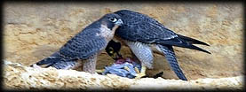 Scottish Falcon Breeders